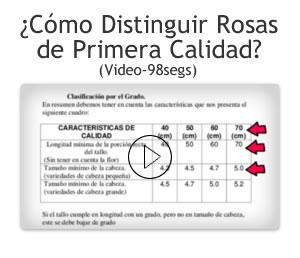 Video como distinguir rosas exportacion en Bogota