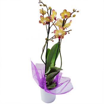 Orquidea Phalaenopsis color Amarillo