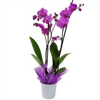 Orquídea Phaleanopsis Bogota Domicilio