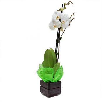 Orquidea Phalaenopsis color Crema