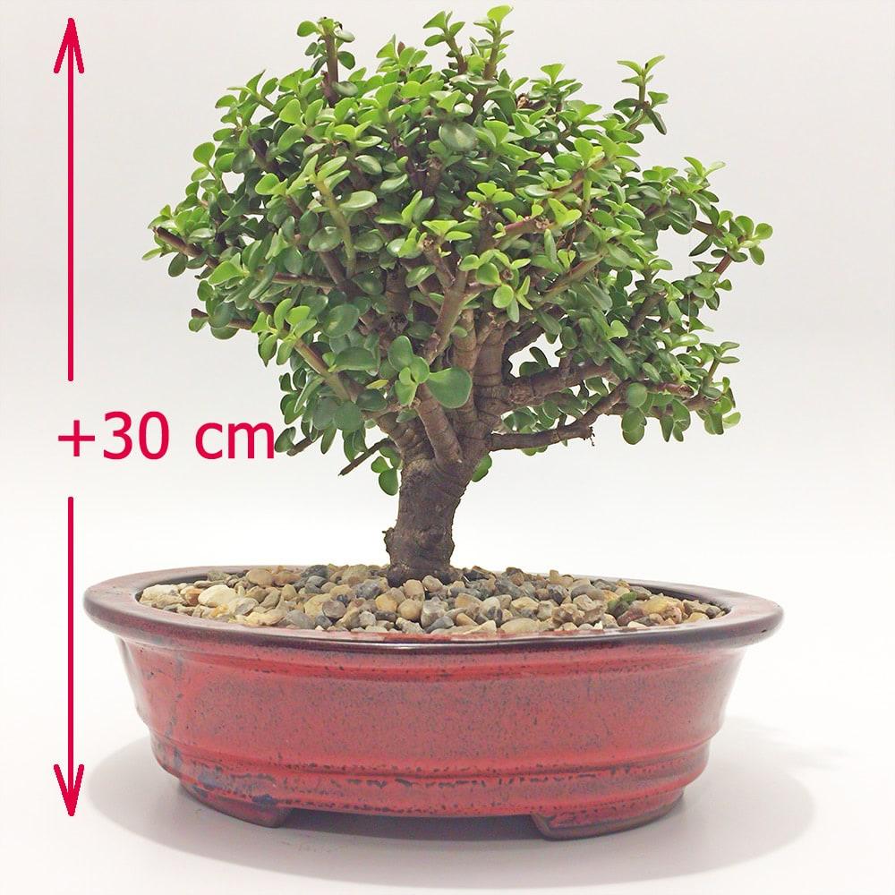 Plantas jade bonsai para regalar en bogota - Plantas para bonsai ...