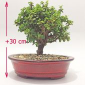 Planta bonsai Jade Bogota a domicilio