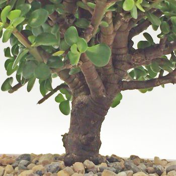 Planta Jade Bogota vista de cerca