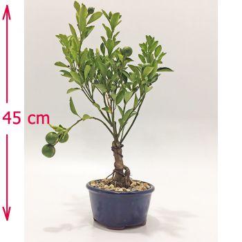 Planta bonsai de naranjo para enviar a Bogota