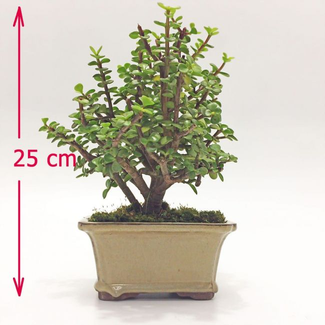 Planta Jade bonsai en Bogota