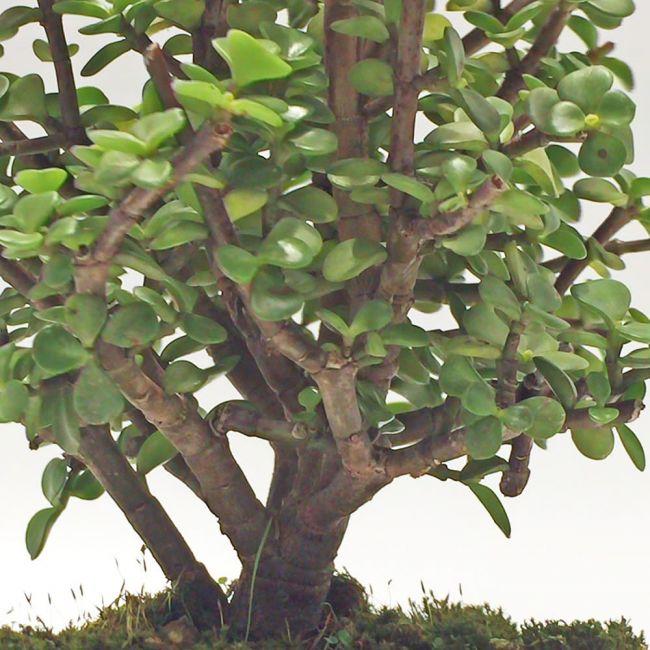 Planta Jade en Bogota vista de cerca